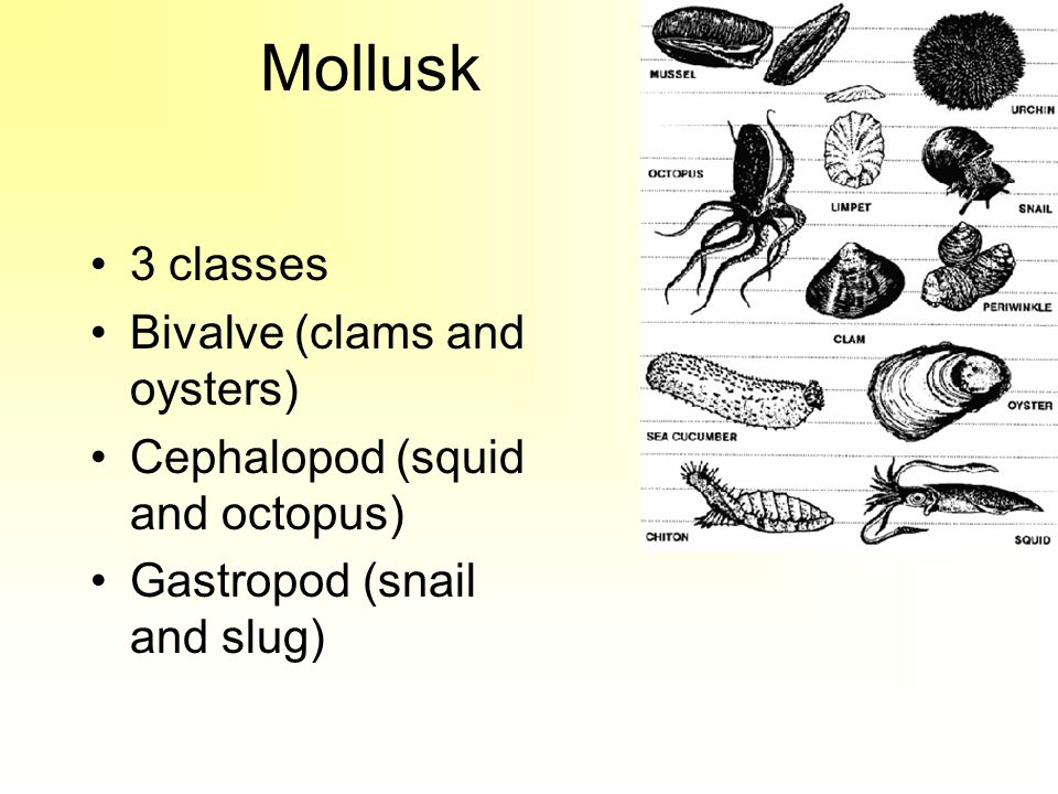 Mollusk 3 classes Bivalve (clams and oysters) Cephalopod (squid and octopus) Gastropod (snail and slug)