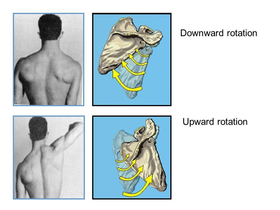 Downward rotation Upward rotation