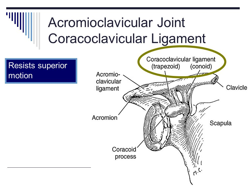 Acromioclavicular Joint Coracoclavicular Ligament Resists superior motion