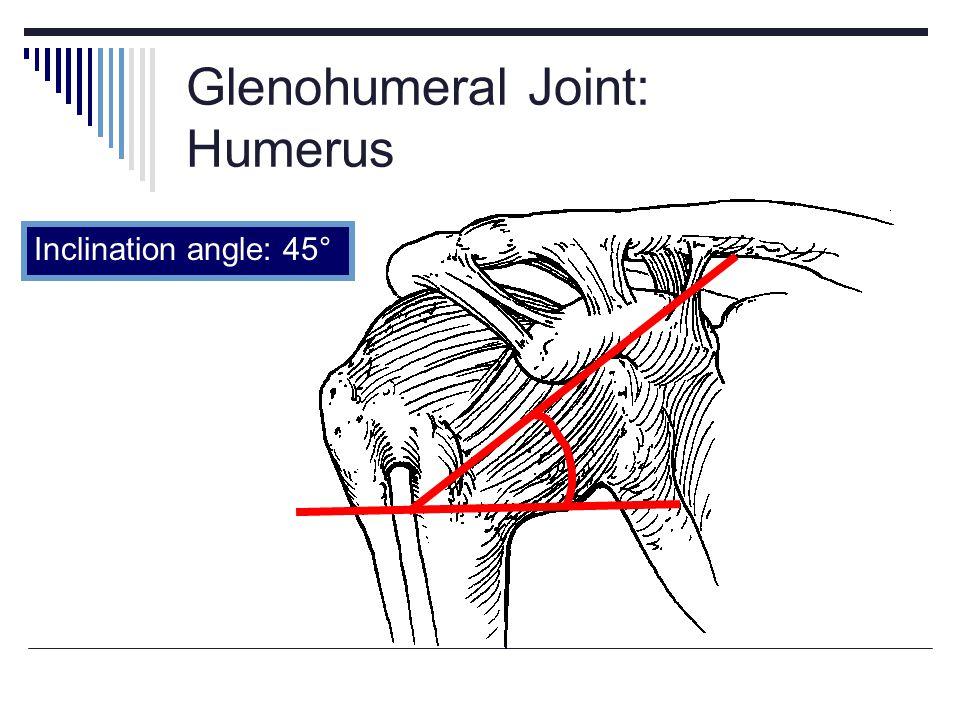 Glenohumeral Joint: Humerus Inclination angle: 45°