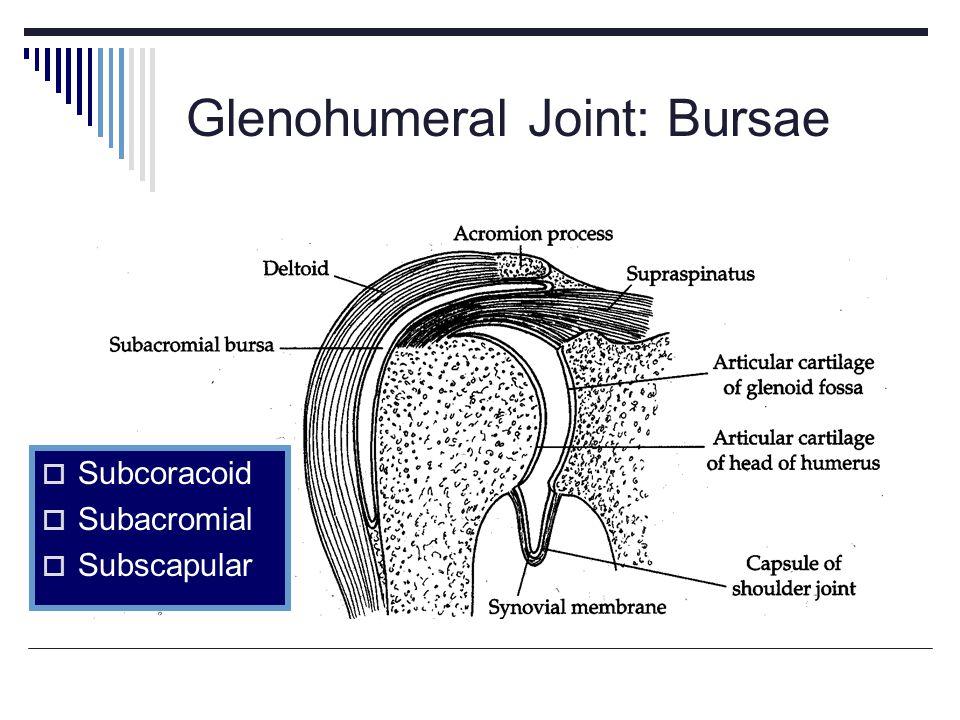 Glenohumeral Joint: Bursae Subcoracoid Subacromial Subscapular