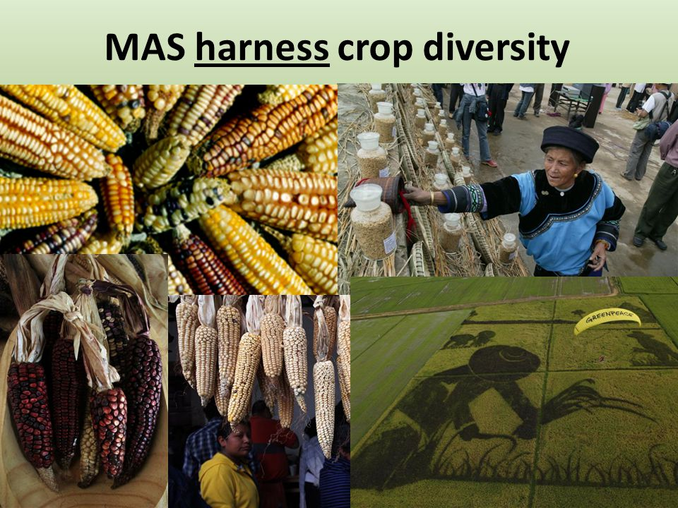MAS harness crop diversity