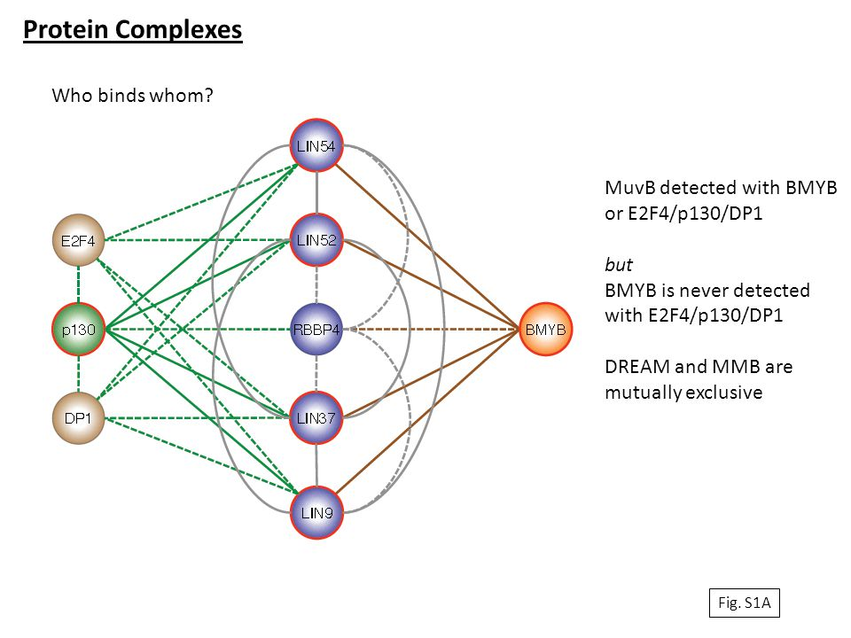 Protein Complexes Who binds whom? MuvB detected with BMYB or E2F4/p130/DP1 but BMYB is never detected with E2F4/p130/DP1 DREAM and MMB are mutually ex