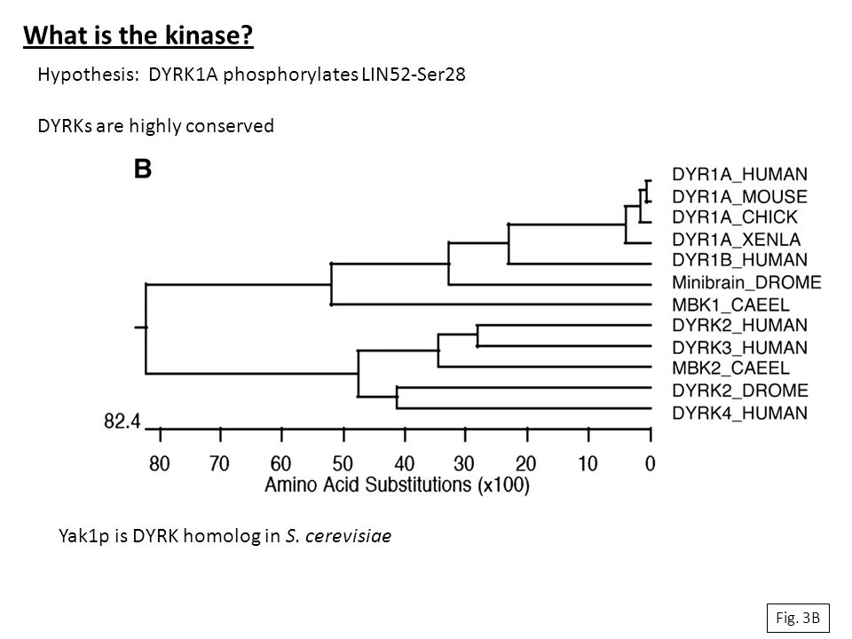 What is the kinase? Fig. 3B Hypothesis: DYRK1A phosphorylates LIN52-Ser28 DYRKs are highly conserved Yak1p is DYRK homolog in S. cerevisiae