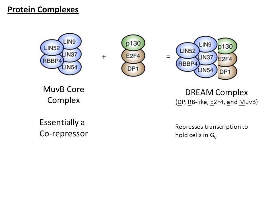 Protein Complexes MuvB Core Complex Essentially a Co-repressor += DREAM Complex (DP, RB-like, E2F4, and MuvB) Represses transcription to hold cells in