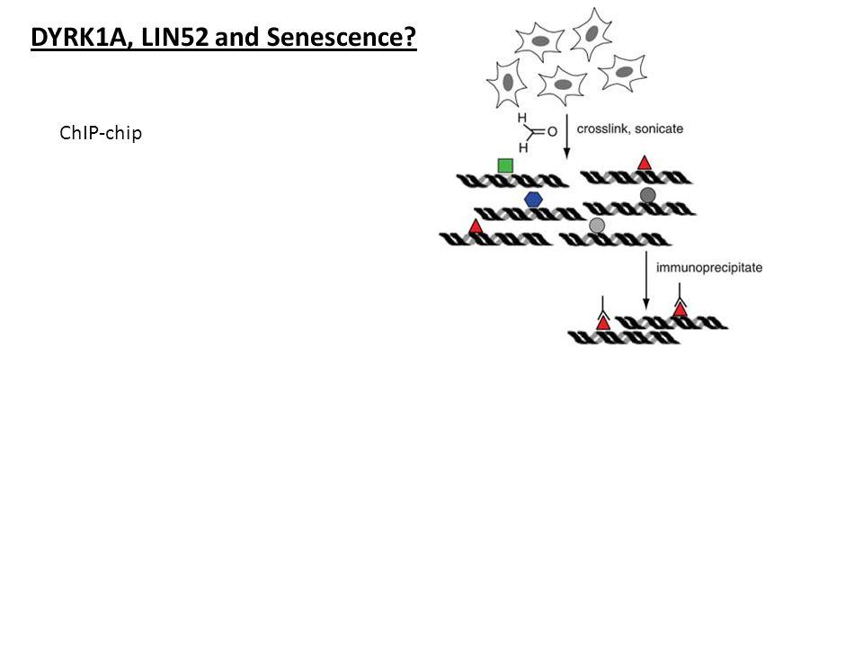 DYRK1A, LIN52 and Senescence? ChIP-chip