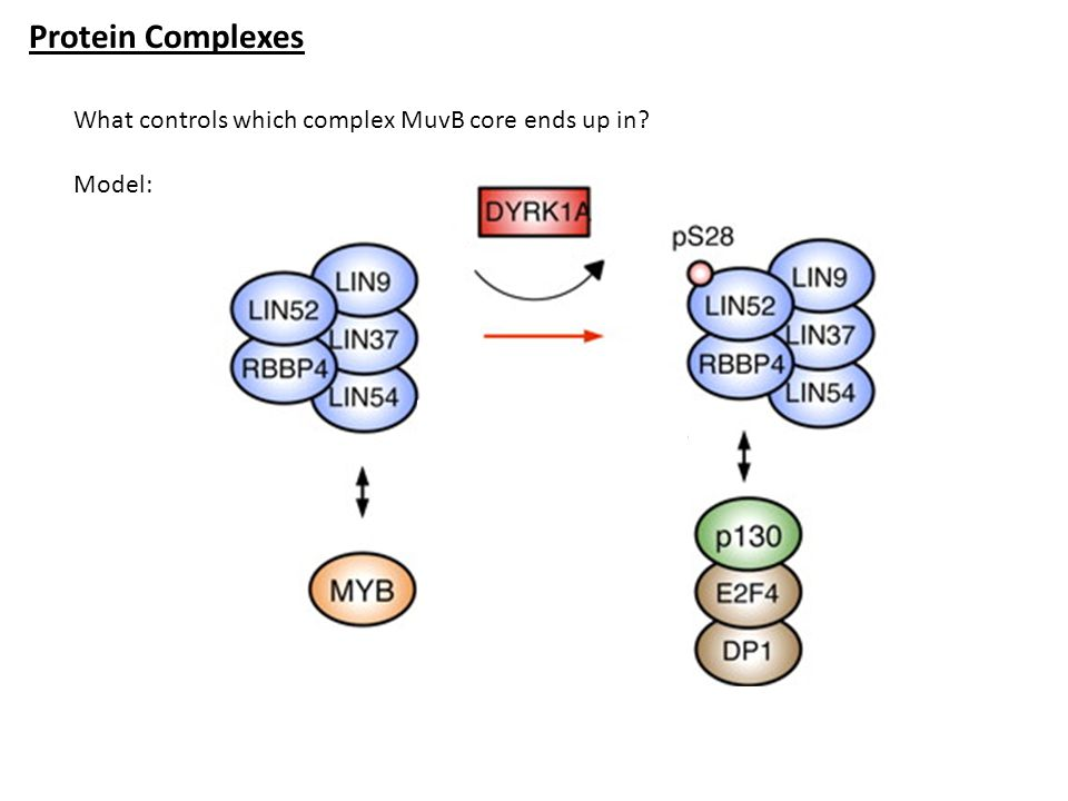 Protein Complexes What controls which complex MuvB core ends up in? Model: