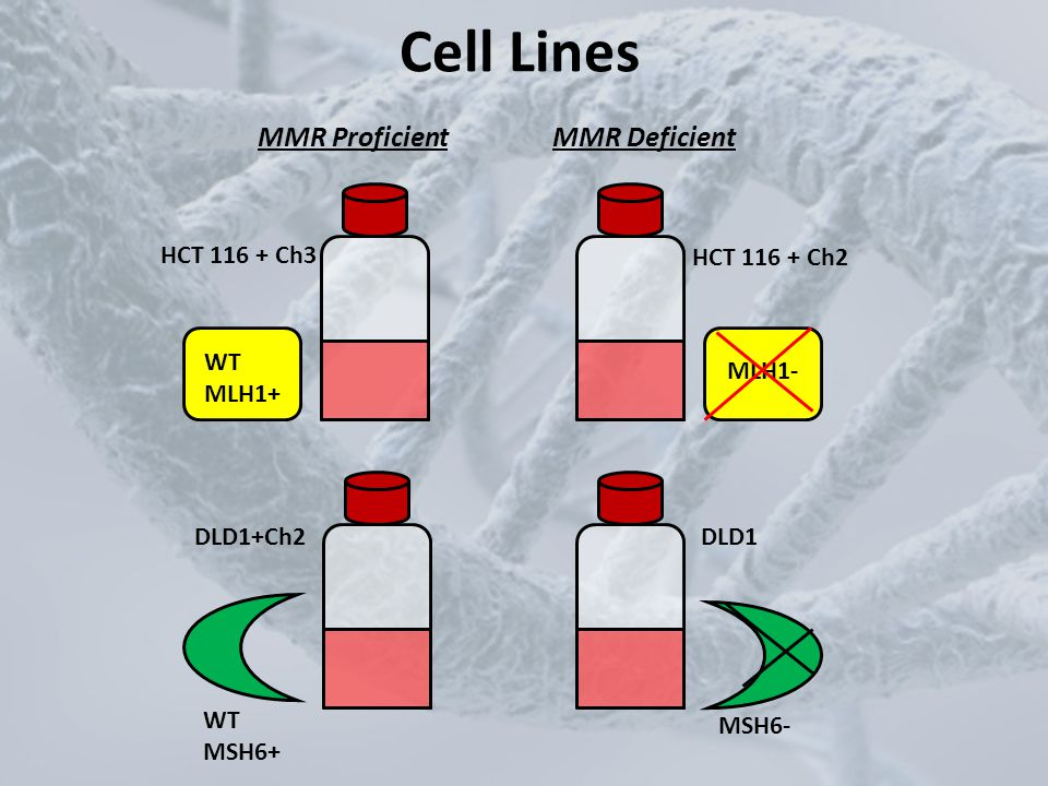 Mutant Frequency Calculation MF=6-TG resistant colonies formed/(PE x # of plates) MF=mutant frequency PE = plating efficiency MMR Proficient MLH1 MMR Deficient MLH1 135,000 cells300 cells 6-TG selective media Non-selective media 135,000 cells300 cells 6-TG selective media Non-selective media few colonies ~150 colonies more colonies ~150 colonies