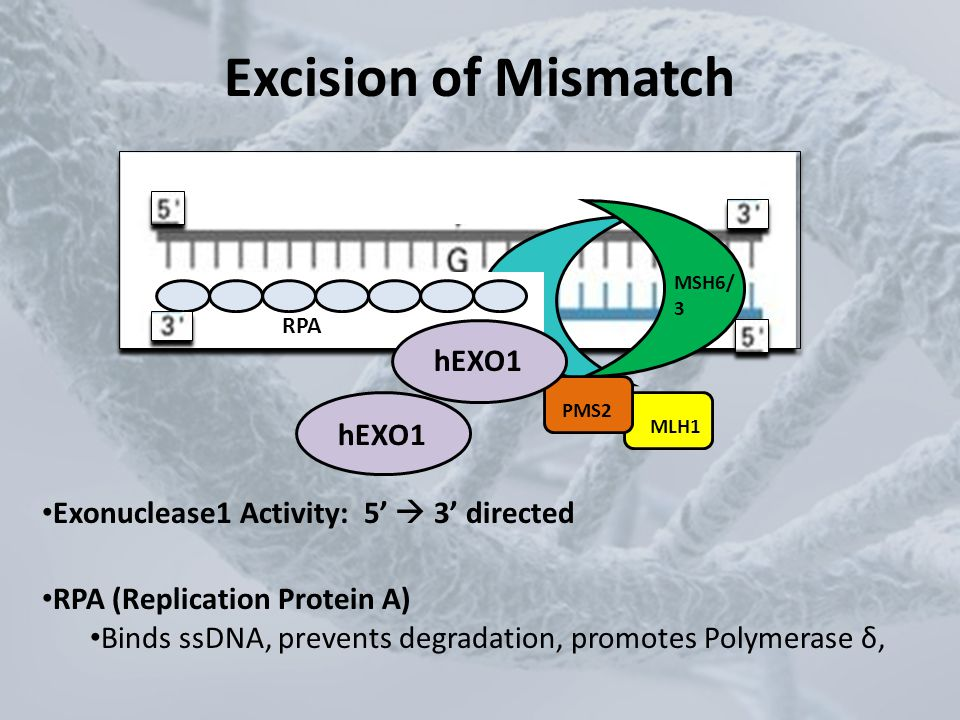 Excision of Mismatch MSH2 MSH6/ 3 PMS2 MLH1 RPA hEXO1 RPA (Replication Protein A) Binds ssDNA, prevents degradation, promotes Polymerase δ, Exonucleas