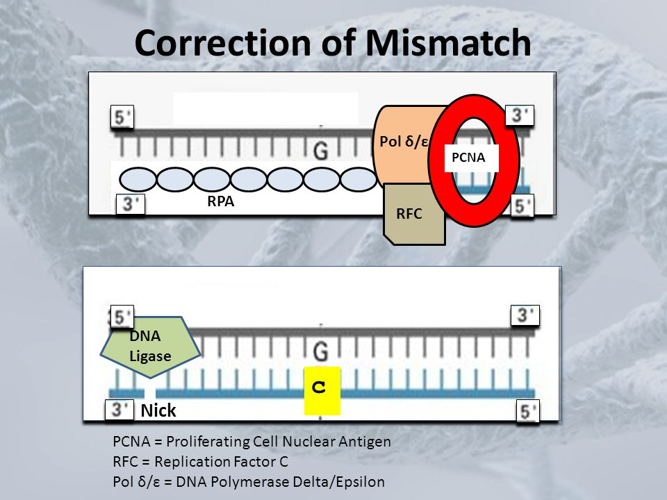 Correction of Mismatch c c RPA Pol δ/ε RFC PCNA DNA Ligase Nick PCNA = Proliferating Cell Nuclear Antigen RFC = Replication Factor C Pol δ/ε = DNA Pol