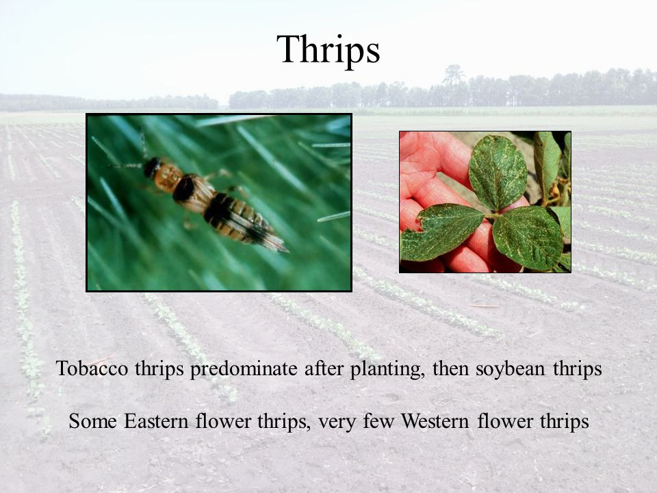 Thrips Tobacco thrips predominate after planting, then soybean thrips Some Eastern flower thrips, very few Western flower thrips