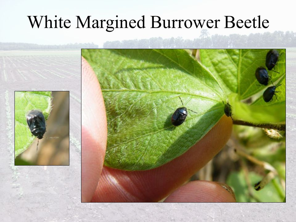 White Margined Burrower Beetle