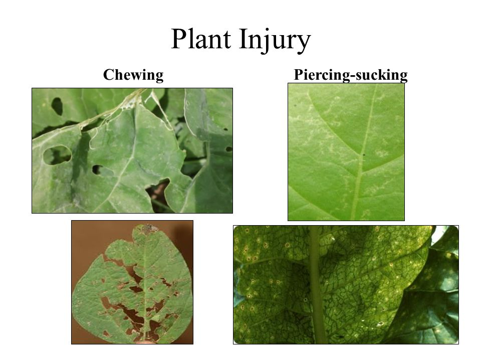 Plant Injury ChewingPiercing-sucking