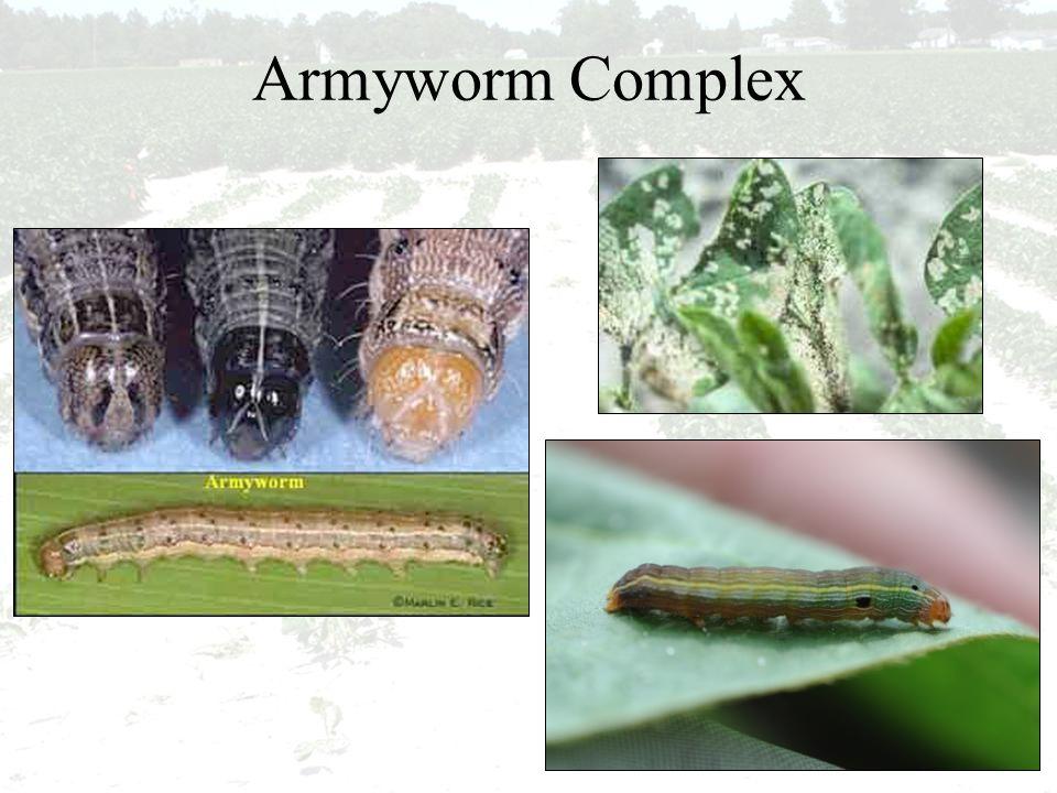 Armyworm Complex