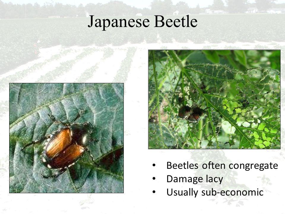 Japanese Beetle Beetles often congregate Damage lacy Usually sub-economic