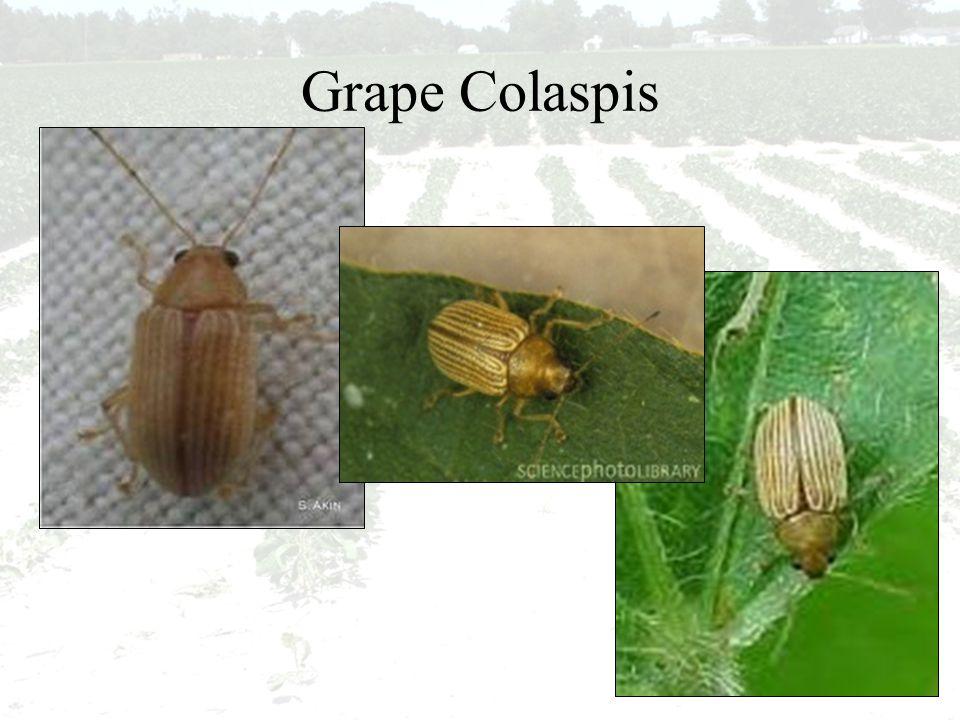 Grape Colaspis