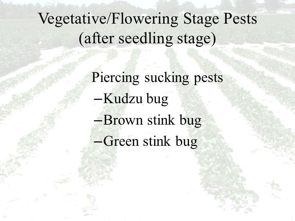 Vegetative/Flowering Stage Pests (after seedling stage) Piercing sucking pests – Kudzu bug – Brown stink bug – Green stink bug