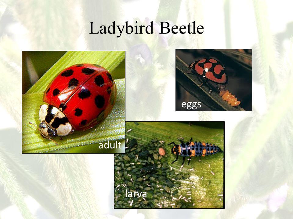 Ladybird Beetle adult larva eggs