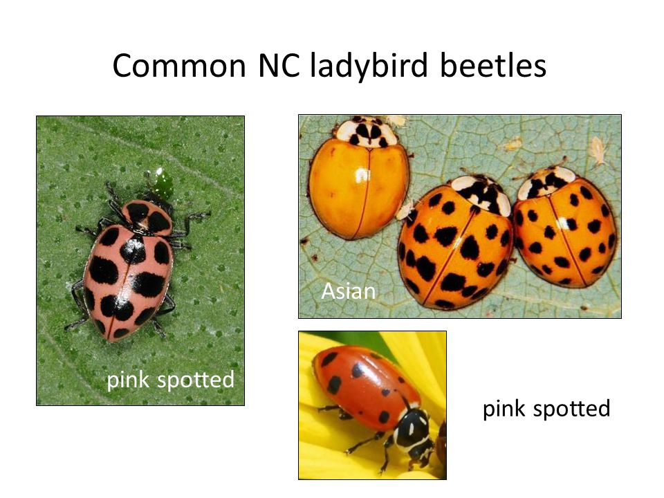 Common NC ladybird beetles pink spotted Asian pink spotted