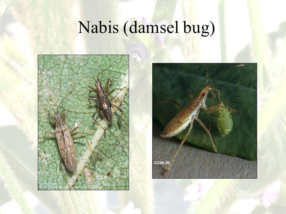 Nabis (damsel bug)