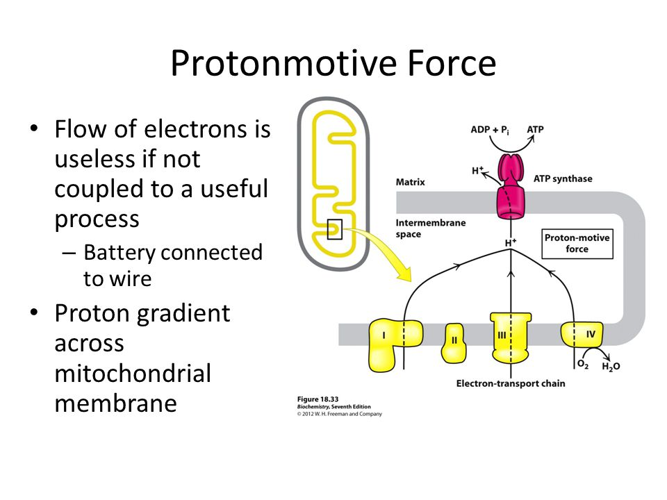 Protonmotive Force Flow of electrons is useless if not coupled to a useful process – Battery connected to wire Proton gradient across mitochondrial me