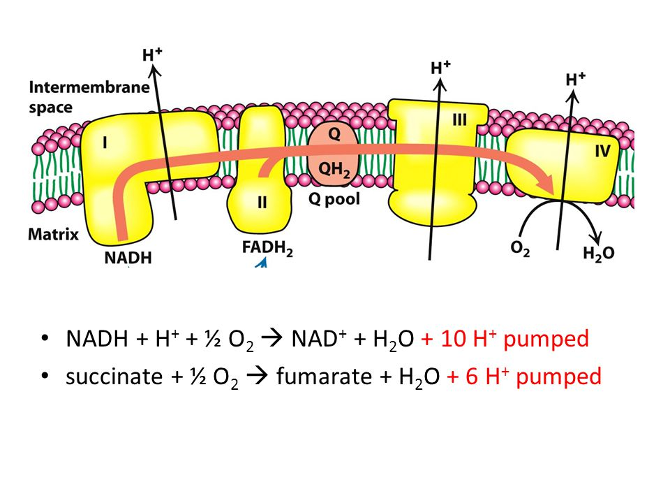 Protonmotive Force NADH + H + + ½ O 2 NAD + + H 2 O + 10 H + pumped succinate + ½ O 2 fumarate + H 2 O + 6 H + pumped