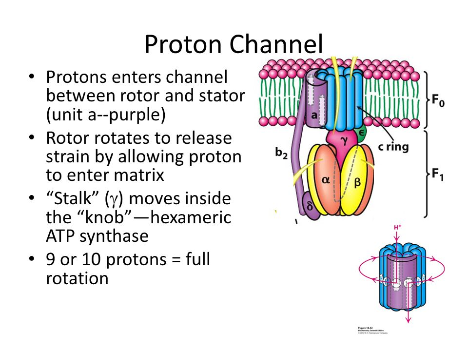 Proton Channel Protons enters channel between rotor and stator (unit a--purple) Rotor rotates to release strain by allowing proton to enter matrix Sta