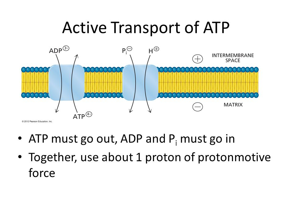 Active Transport of ATP ATP must go out, ADP and P i must go in Together, use about 1 proton of protonmotive force