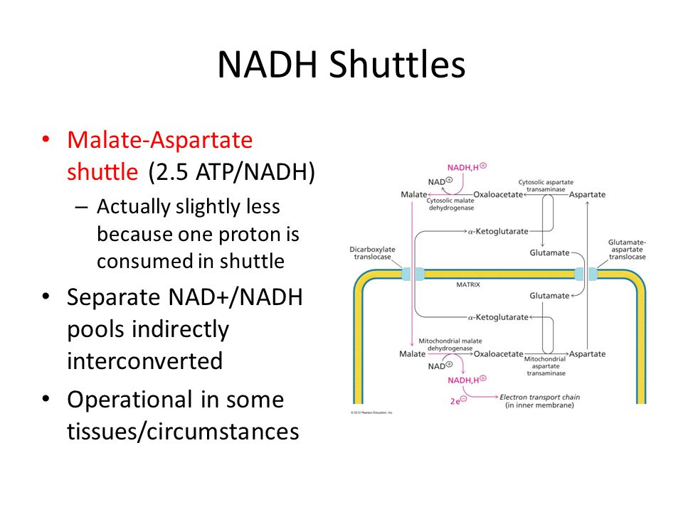 NADH Shuttles Malate-Aspartate shuttle (2.5 ATP/NADH) – Actually slightly less because one proton is consumed in shuttle Separate NAD+/NADH pools indi