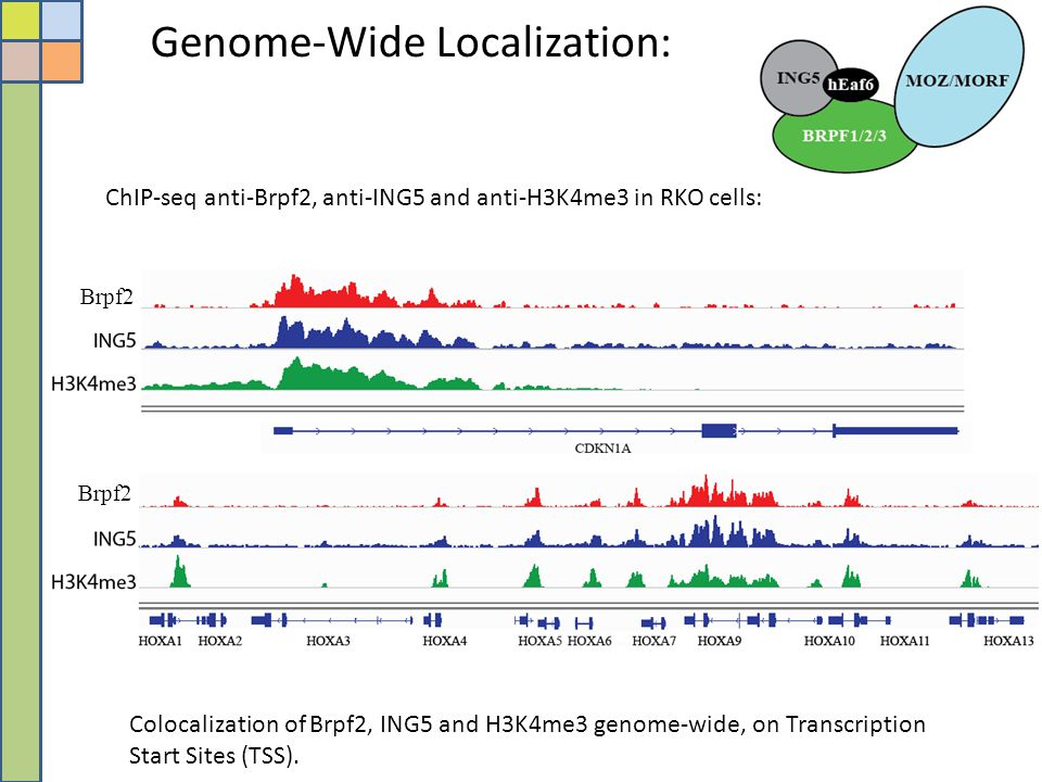 Genome-Wide Localization: ChIP-seq anti-Brpf2, anti-ING5 and anti-H3K4me3 in RKO cells: Colocalization of Brpf2, ING5 and H3K4me3 genome-wide, on Tran