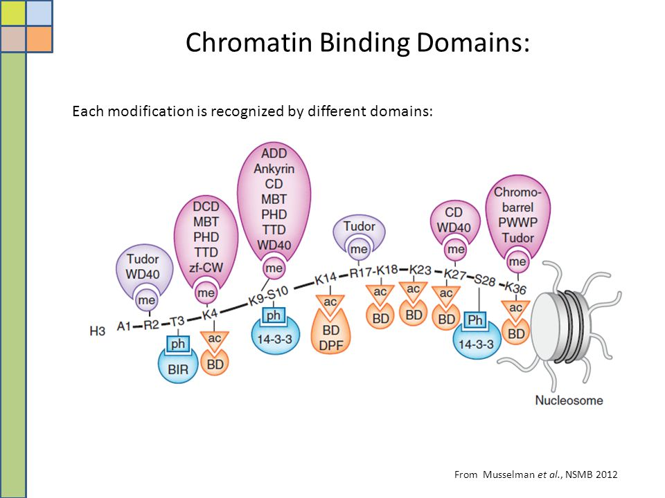 From Musselman et al., NSMB 2012 Each modification is recognized by different domains: Chromatin Binding Domains: