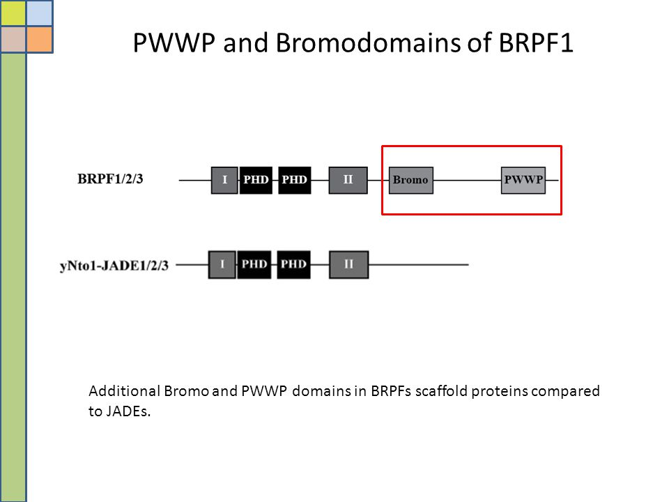PWWP and Bromodomains of BRPF1 Additional Bromo and PWWP domains in BRPFs scaffold proteins compared to JADEs.