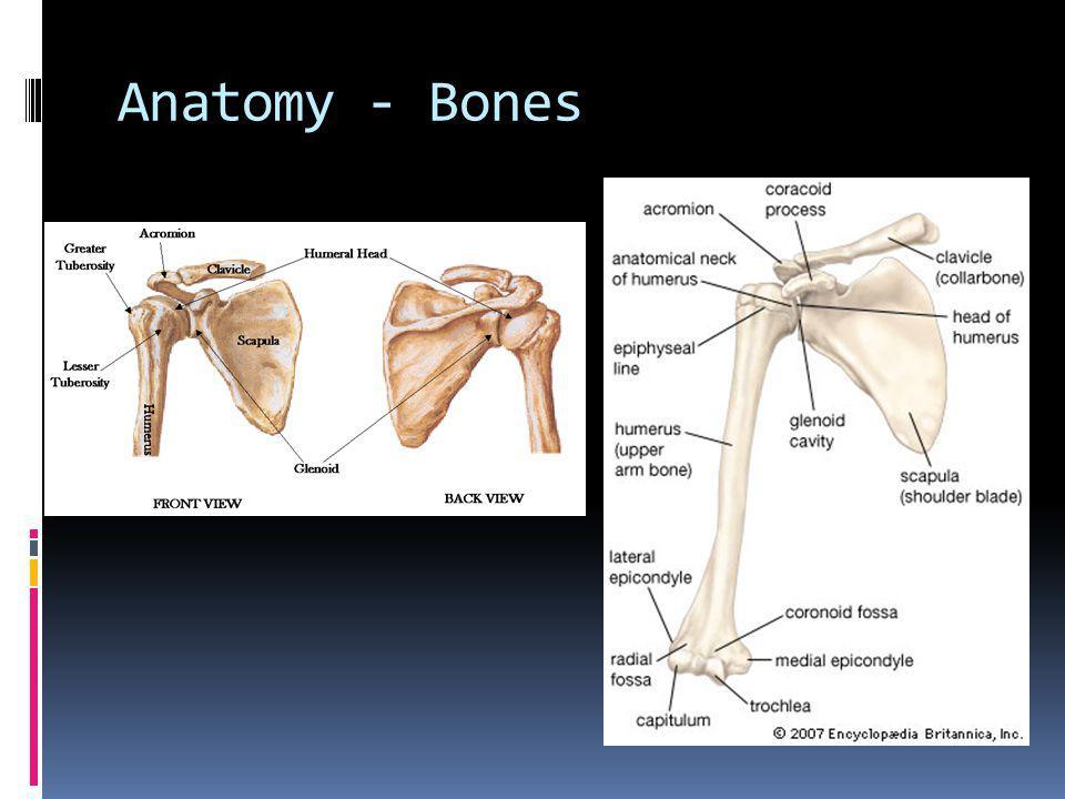 Anatomy - Ligaments