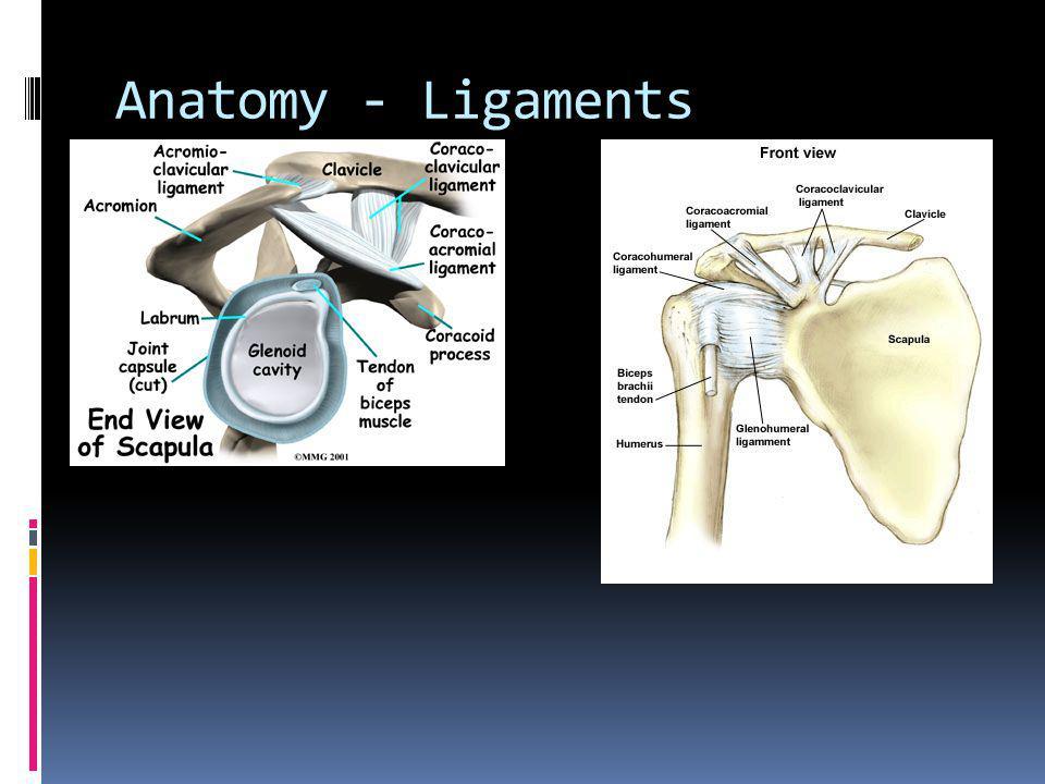 Anatomy - Muscles Flexors Pectoralis Major Deltoid Coracobrachialis Biceps Brachii Extensors Latissimus Dorsi Deltoid Teres Major Triceps Brachii