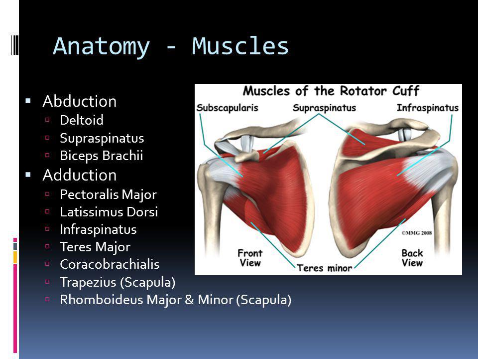 Anatomy - Muscles Internal Rotation Pectoralis Major Latissimus Dorsi Deltoid Subscapularis Teres Major External Rotation Supraspinatus Infraspinatus Teres Minor Deltoid