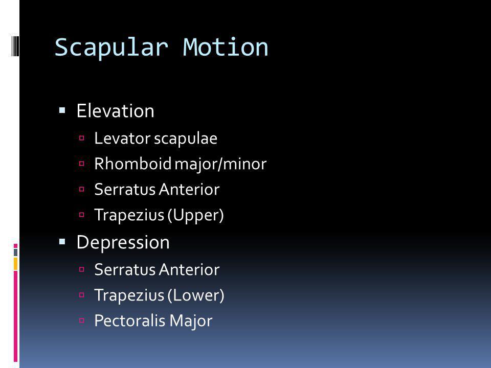 Scapular Motion Elevation Levator scapulae Rhomboid major/minor Serratus Anterior Trapezius (Upper) Depression Serratus Anterior Trapezius (Lower) Pec
