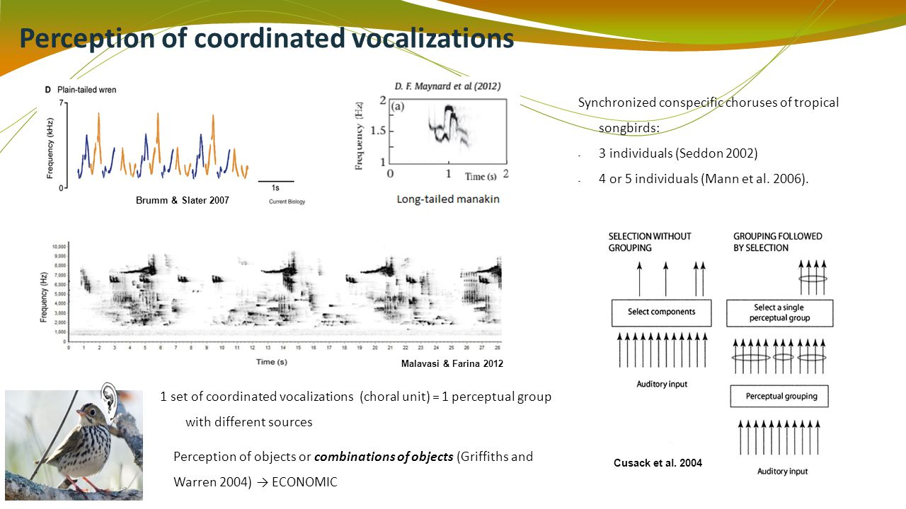 Perception of coordinated vocalizations Brumm & Slater 2007 Malavasi & Farina 2012 Synchronized conspecific choruses of tropical songbirds: - 3 individuals (Seddon 2002) - 4 or 5 individuals (Mann et al.