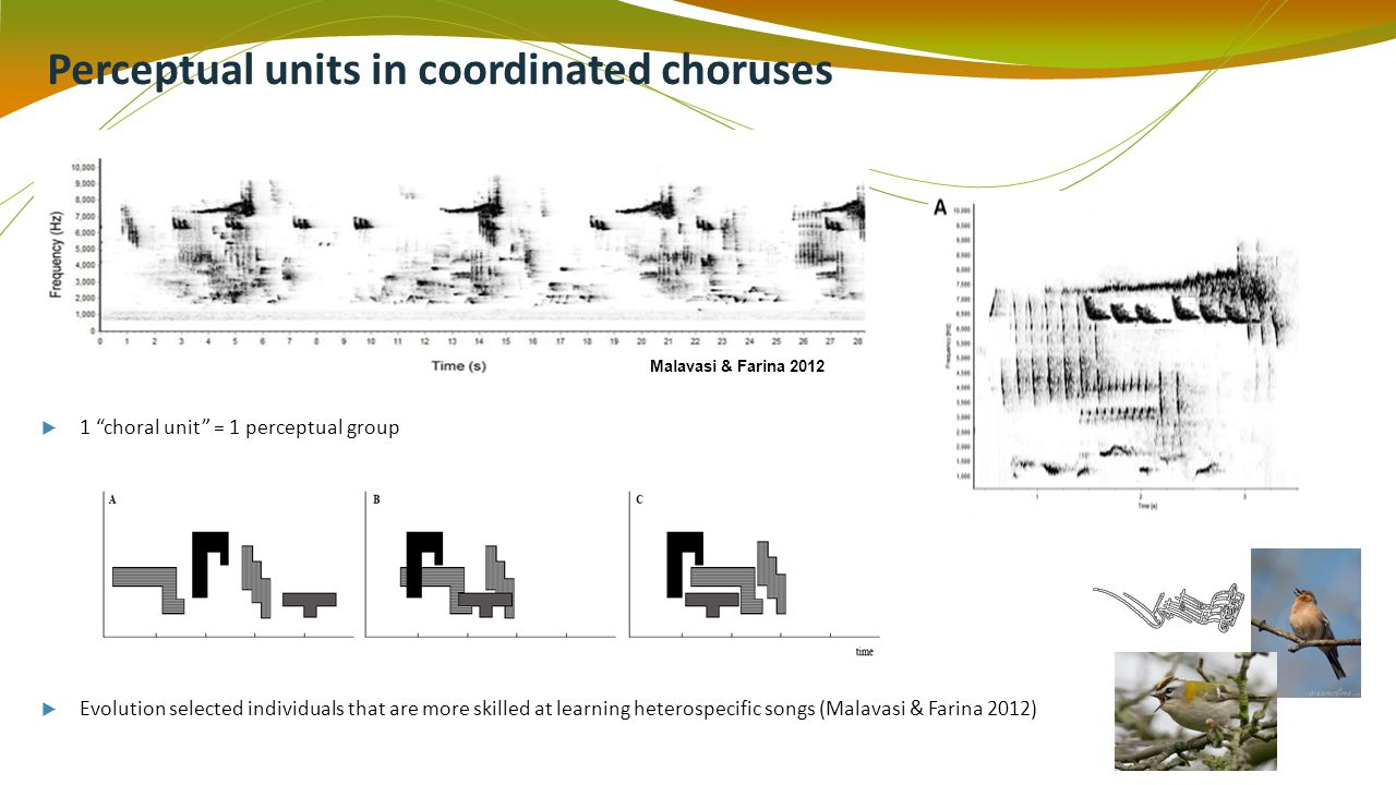 Perceptual units in coordinated choruses Malavasi & Farina 2012 1 choral unit = 1 perceptual group Evolution selected individuals that are more skilled at learning heterospecific songs (Malavasi & Farina 2012)