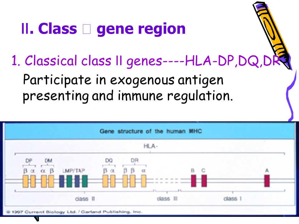 2. Non-classical HLA class genes ----HLA-E,F,G Participate in immune regulation Associated with maternal-fetal immune tolerance. 3. MHC class chain-re