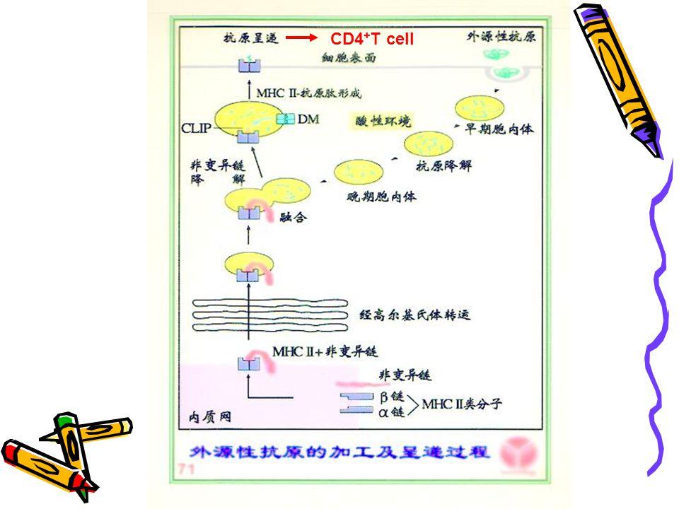CD8 + T cell