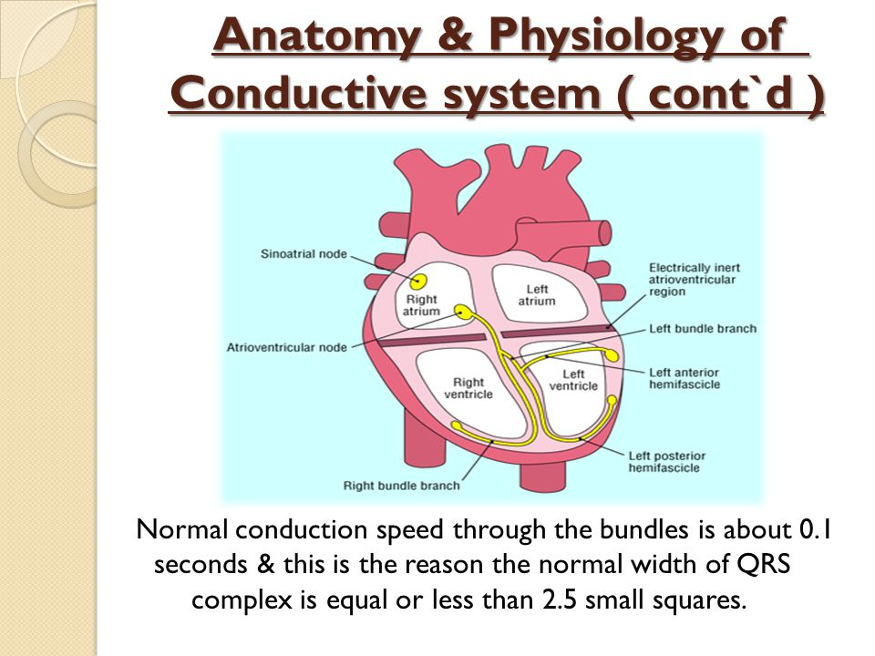 Anatomy & Physiology of Conductive system ( cont`d ) Normal conduction speed through the bundles is about 0.1 seconds & this is the reason the normal width of QRS complex is equal or less than 2.5 small squares.