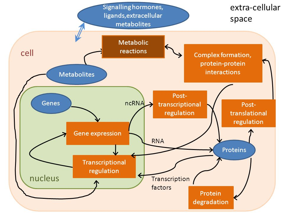 Genes Gene expression Proteins Metabolites Protein degradation Metabolic reactions Complex formation, protein-protein interactions Transcriptional reg