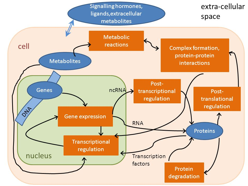 Gene expression Proteins Metabolites Protein degradation Metabolic reactions Complex formation, protein-protein interactions Transcriptional regulatio