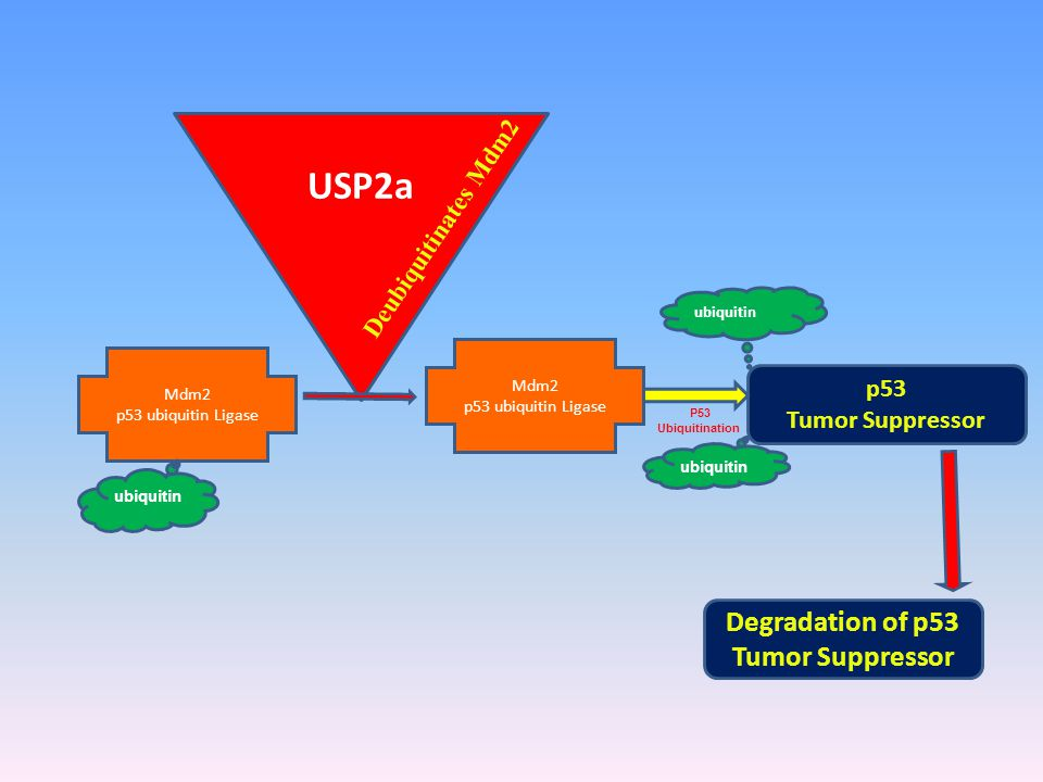 USP2a Mdm2 p53 ubiquitin Ligase p53 Tumor Suppressor P53 Ubiquitination ubiquitin Deubiquitinates Mdm2 ubiquitin Mdm2 p53 ubiquitin Ligase ubiquitin Degradation of p53 Tumor Suppressor