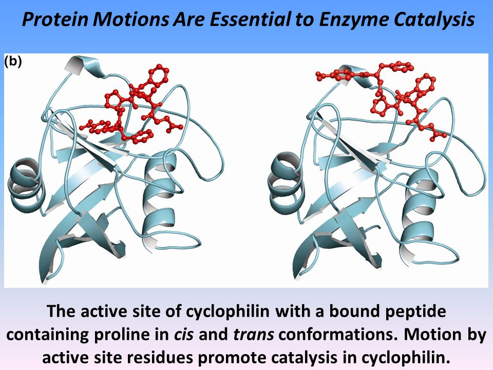 Protein Motions Are Essential to Enzyme Catalysis The active site of cyclophilin with a bound peptide containing proline in cis and trans conformations.