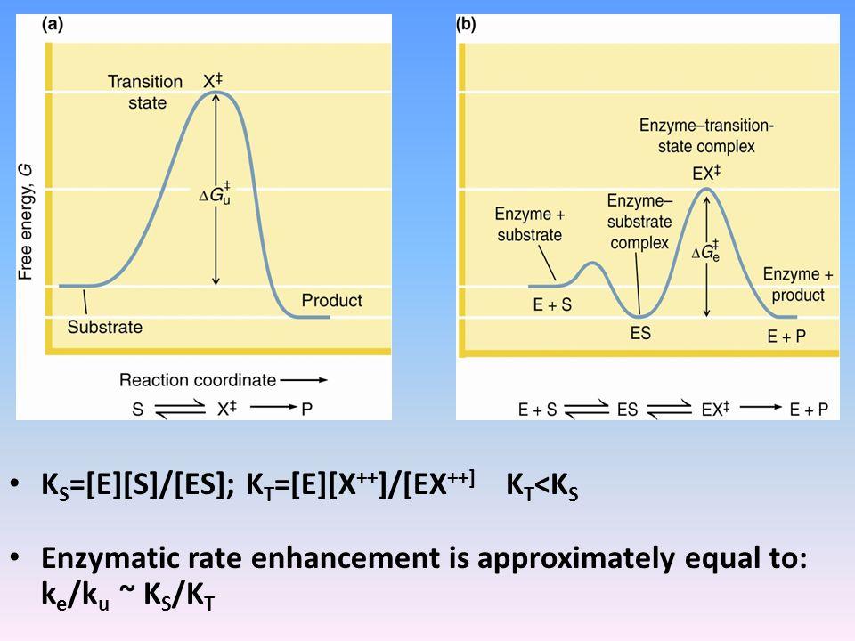 K S =[E][S]/[ES]; K T =[E][X ++ ]/[EX ++] K T <K S Enzymatic rate enhancement is approximately equal to: k e /k u ~ K S /K T