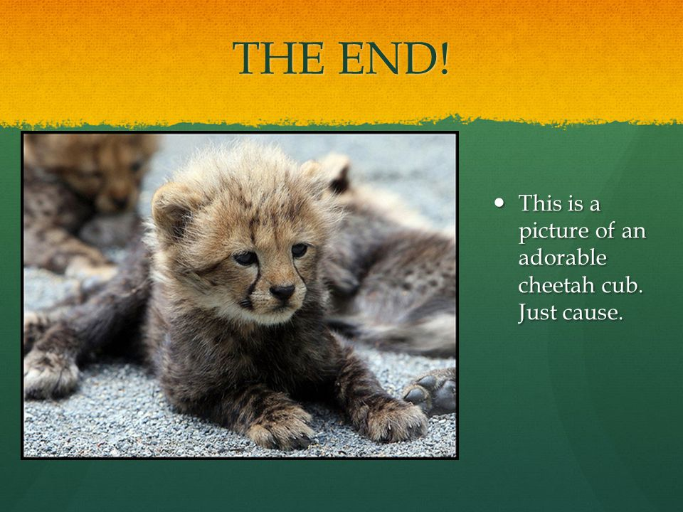 THE END. This is a picture of an adorable cheetah cub.