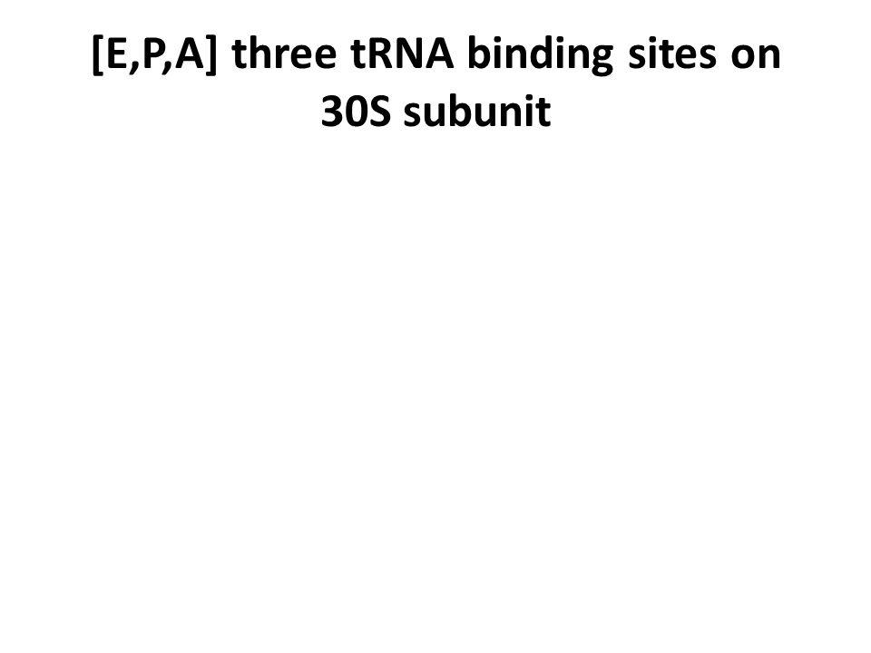 [E,P,A] three tRNA binding sites on 30S subunit