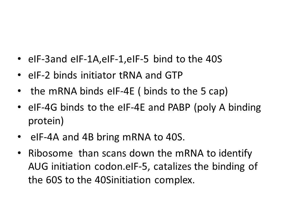 eIF-3and eIF-1A,eIF-1,eIF-5 bind to the 40S eIF-2 binds initiator tRNA and GTP the mRNA binds eIF-4E ( binds to the 5 cap) eIF-4G binds to the eIF-4E