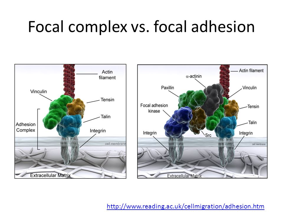 Focal complex vs. focal adhesion http://www.reading.ac.uk/cellmigration/adhesion.htm